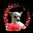 Bella's Little Angels, Chihuahua Breeder